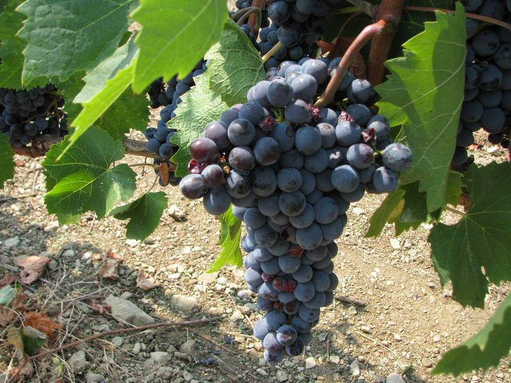 druvor från santo stefano