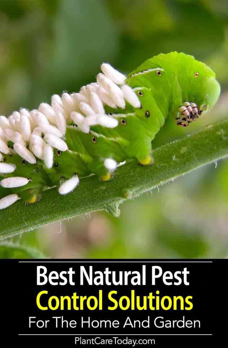 Our Best Natural Pest Control Solutions For The Home And