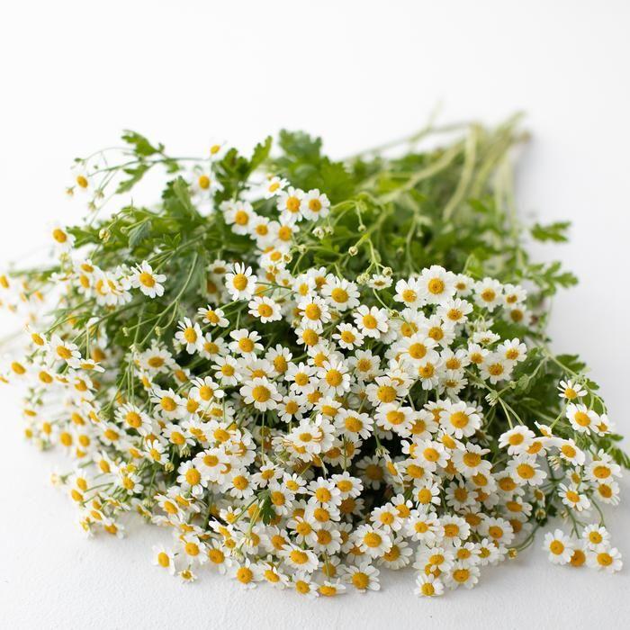 Feverfew Vegmo Single Tiny White Flowers Feverfew Gardening For Beginners