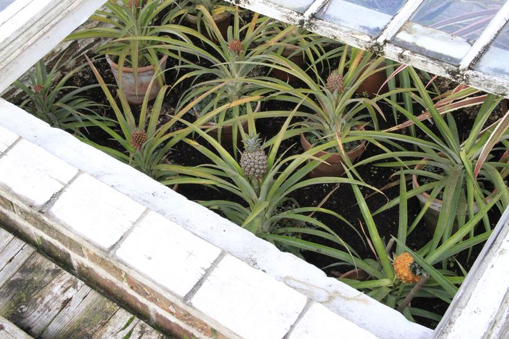 Home Grown Pineapples, in the Pineapple Pit at The Lost Gardens of Heligan.