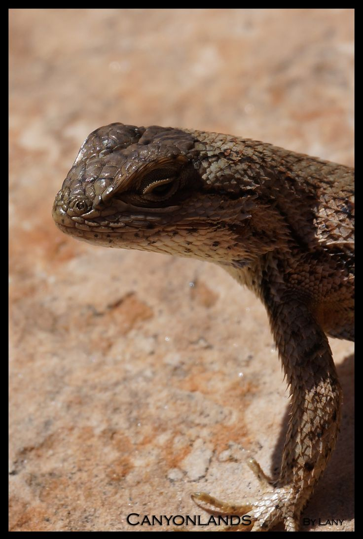 Lizard - Canyonlands