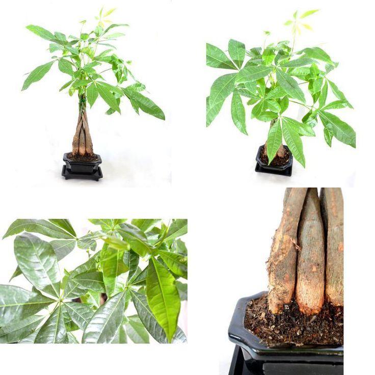 Money Tree Bonsai Plant 4 Pound Indoor Ceramic Pot Houseplant Best Gift New