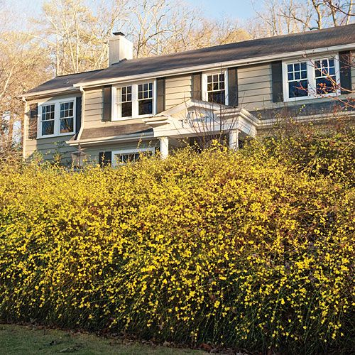 Winter Jasmine - blooms insanely in winter, grows easily (Southern Living)