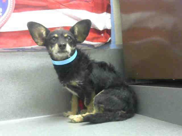 Chiweenie dog for Adoption in Moreno Valley, CA. ADN-605889 on PuppyFinder.com Gender: Male. Age: Adult