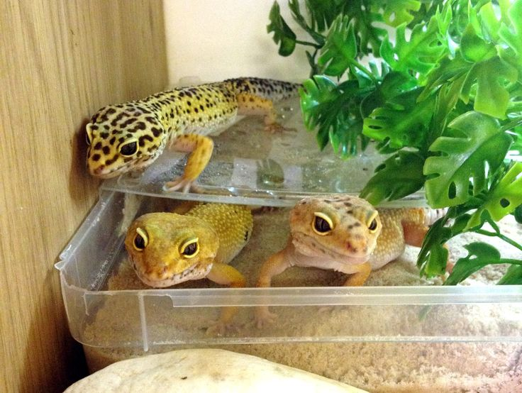 how to get your leopard gecko to like you