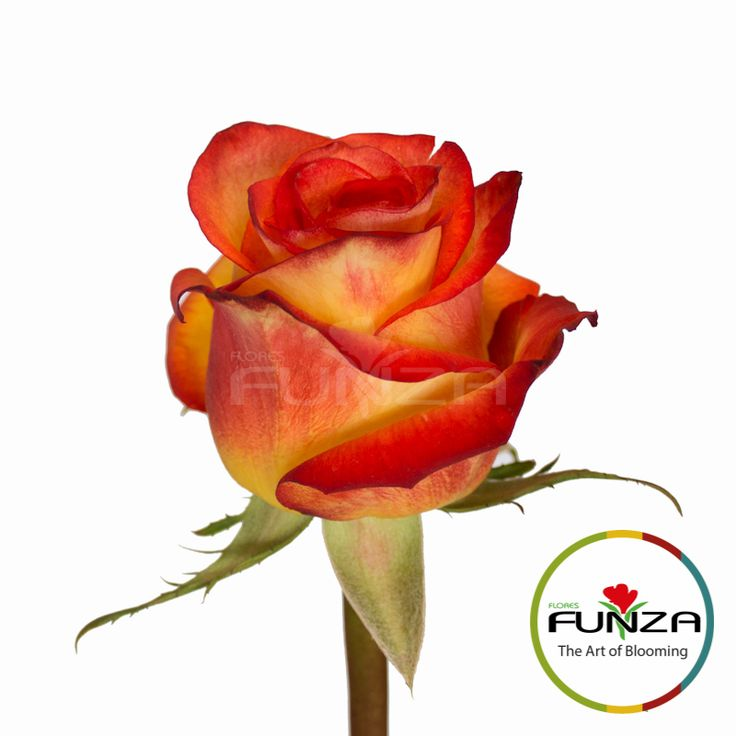 Bicolor Yellow Rose from Flores Funza. Variety: High and Magic, Availability: Year-round