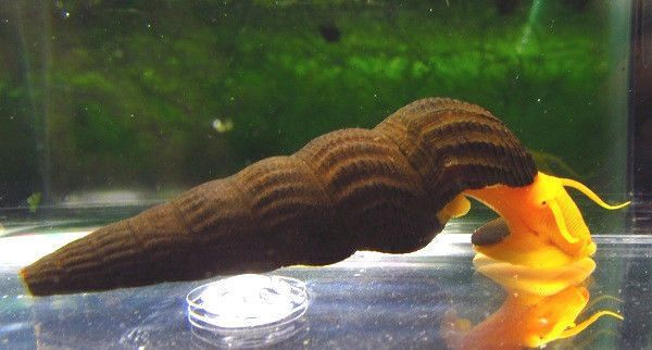 Yellow rabbit snail live freshwater aquarium snail for Snails in fish tank