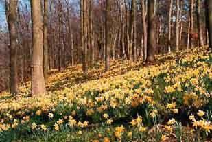 Wild Dymock daffodils