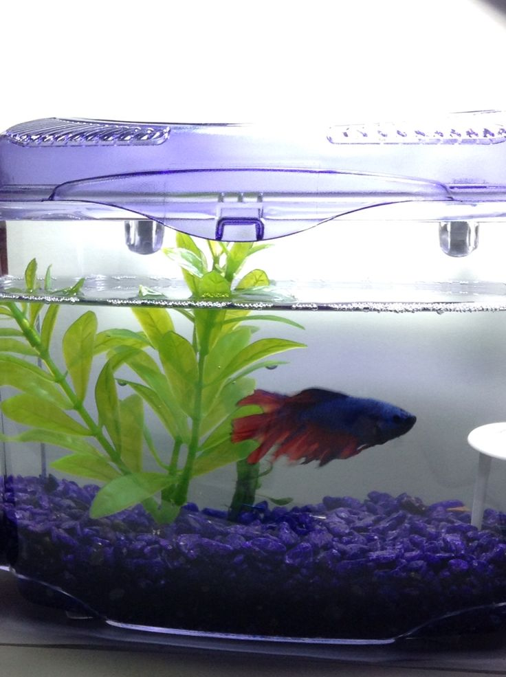 My Betta...Again! They are Truly Great Fishes💟