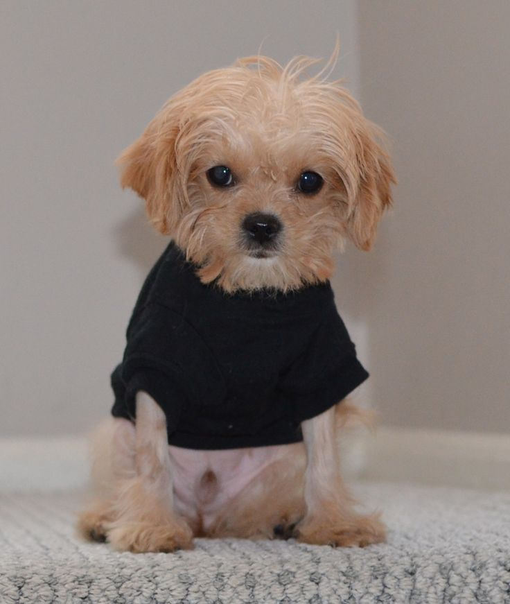 3 months old Morkie puppy Cavapoo Boy Mr.Toby Waffles