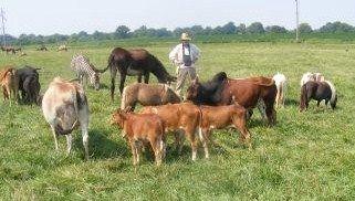 Miniature Zebu cattle