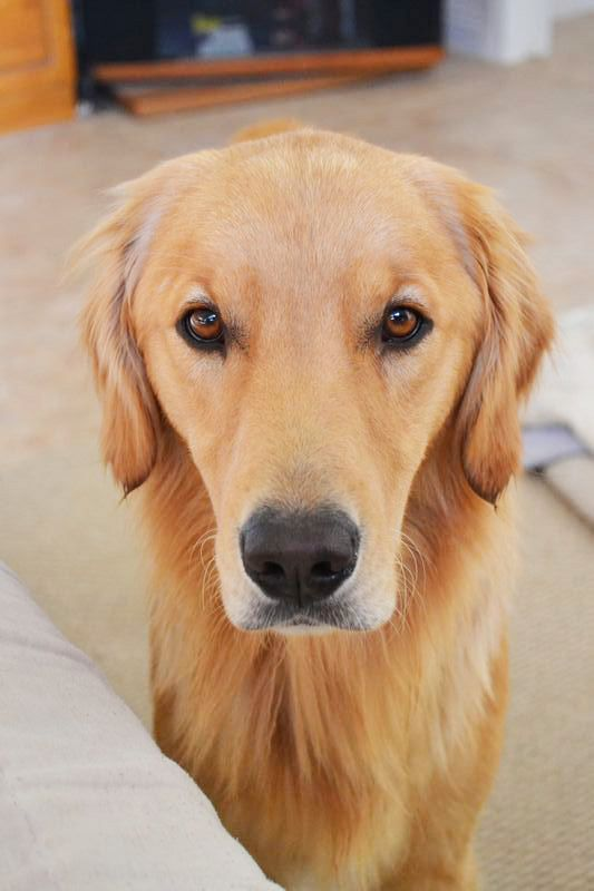 Pictures of Golden Retriever Dog Breed