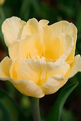 Triumph Tulip 'Nicholas Heyek'