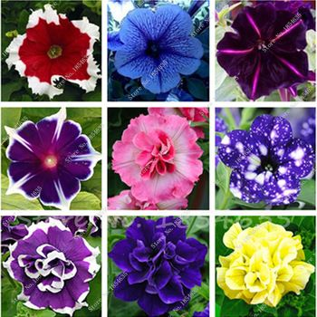 100Pcs Petunia Seeds,Flowers Petunia,Beautiful Bonsai Flower Seeds,Natural Growth Petunia Plant Pot for Home Garden Potted Plant  Price: 0.22 USD