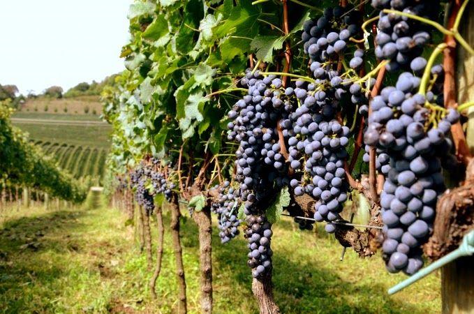Bento Gonçalves: Vivencie a cultura do vinho | #Brasil #RioGrandedoSul #uva