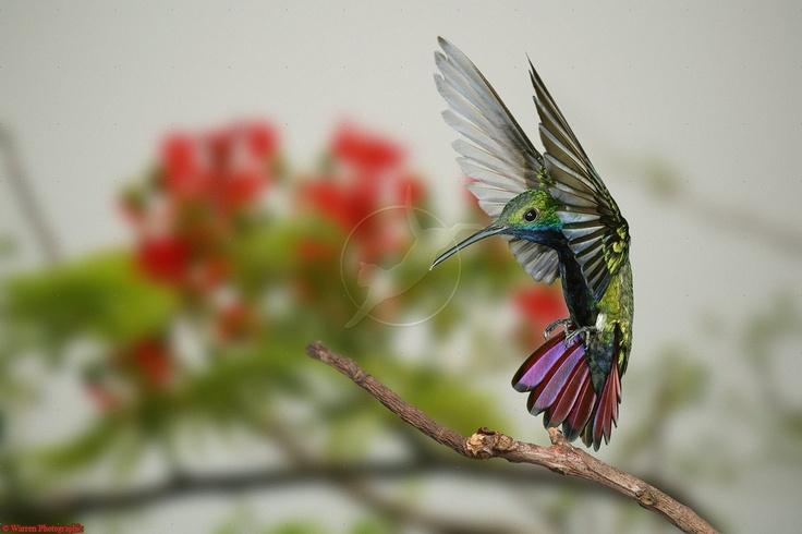 warrenphotographic.co.uk photography Black-throated-Mango-Hummingbird