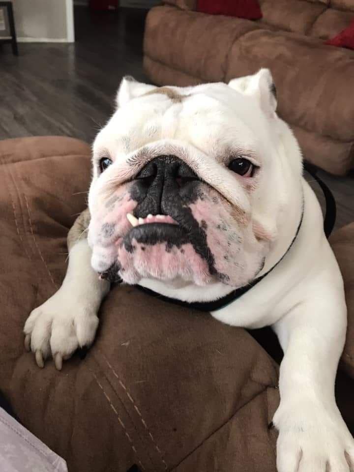 The Great British Bulldog Group Bulldog English Bulldog