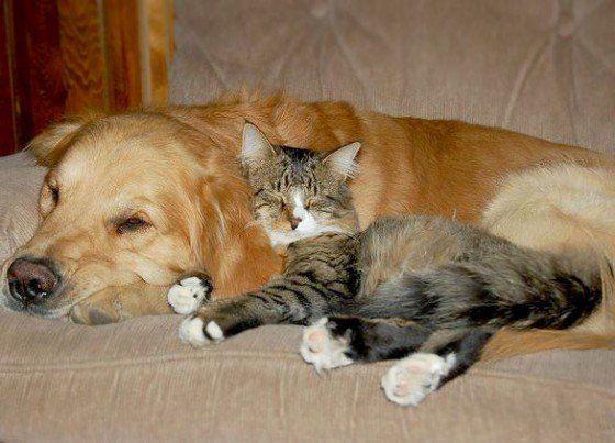 Natuurlijk is het lekker om nu en dan een dutje te doen. Zeker als je een kat bent is je leven in feite een aaneenschakeling van dutjes. Heerlijk! Maar niet elk plekje is even geschikt voor een dutje. Eigenlijk is er geen beter plekje te bedenken dan bovenop een hond, opgekruld tegen zijn hoofd/ore