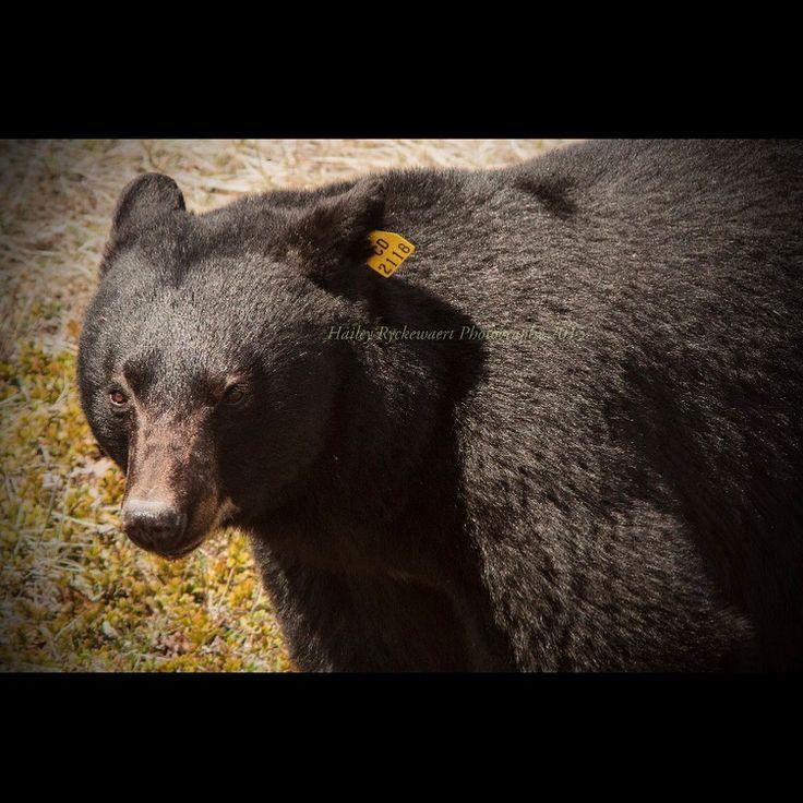 Bear in Alberta Canada  #travelalberta