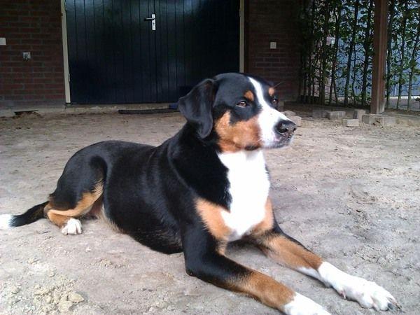 #Appenzeller Sennenhond. Ingezonden op: 4 augustus 2014: Duvel Super lieve hond.