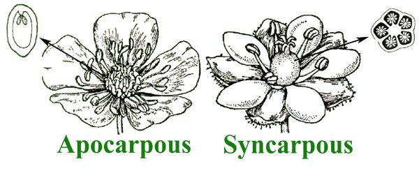 TRICK TO LEARN EXAMPLES OF SYNCARPOUS AND APOCARPOUS OVARY ...
