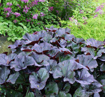 Klippstånds, Ligularia dentata 'Britt-Marie Crawford'. Såg i stadsträdgården i Örebro. Vill helst ha halvskugga, mycket vatten. Blir ca 110 cm. Får gula höga blommor juli-sept. Trivs vid dammar.