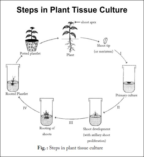 major steps in plant tissue culture essay Plant tissue culture: current status and opportunities 2007history of plant tissue culture: derived from hairy roots of vinca major plant cell tiss org.