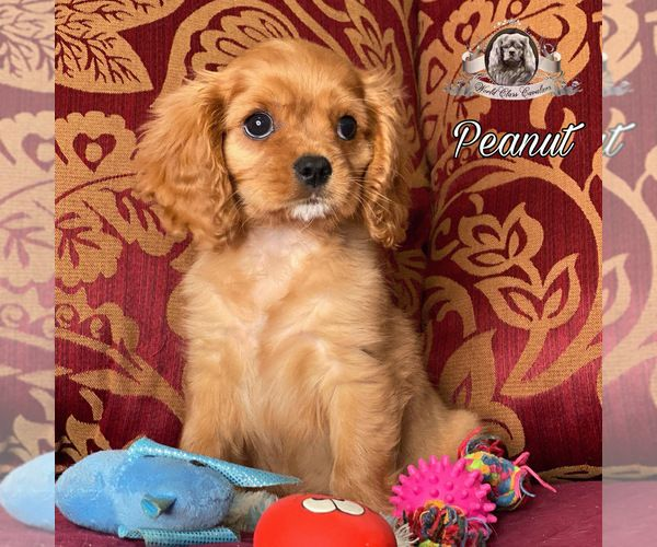 Cavalier King Charles Spaniel Puppy For Sale In Miami Fl Usa