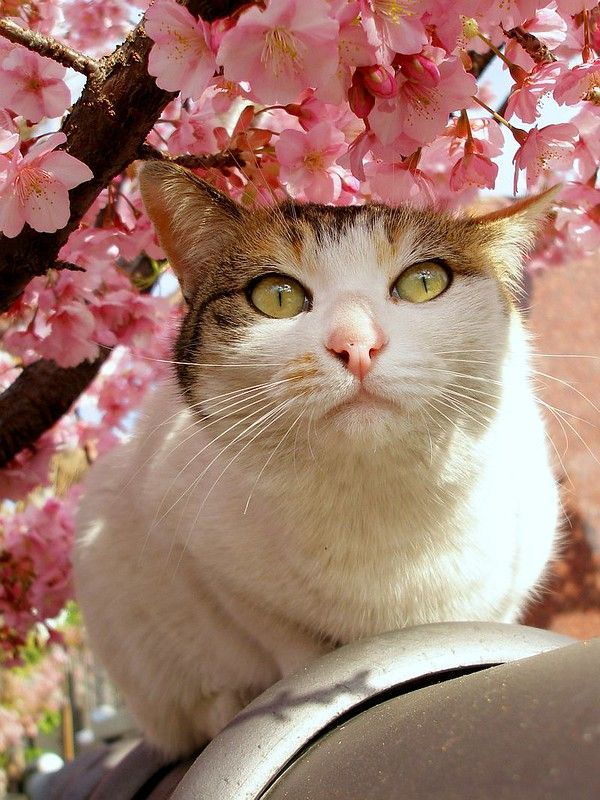 Cat Under The Cherry Blossoms 2 Calico Cat Cats Kittens Cutest