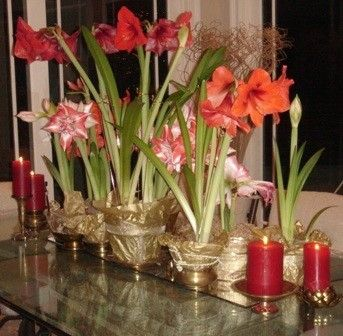 Decorate amaryllis flower containers using wrapping paper and ribbon for showy  Christmas centerpieces.  - Photo R. Thompson