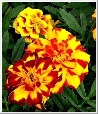 Marigold Safari Bolero