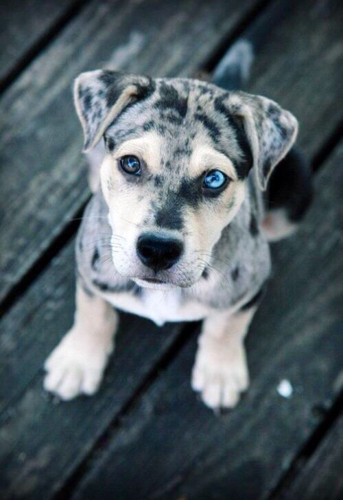 Puppy with blue eyes #adorable #unique