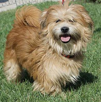 Corona, CA - Wheaten Terrier/Yorkie, Yorkshire Terrier Mix. Meet Houston, a dog for adoption. http://www.adoptapet.com/pet/19238864-corona-california-wheaten-terrier-mix