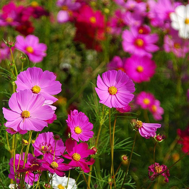 70 best Cosmos Flowers images on Pinterest | Cosmos flowers ...