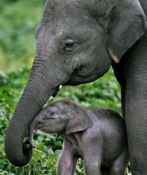 Baby Elephant with mother. ...