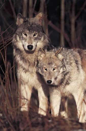 Brother Wolf photo by Jim Brandenburg