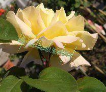 История одной розы http://sad-i-ogorod.com/statji/rozy_posadka_i_uhod/roza_veka_istoriya_odnoj_rozy/