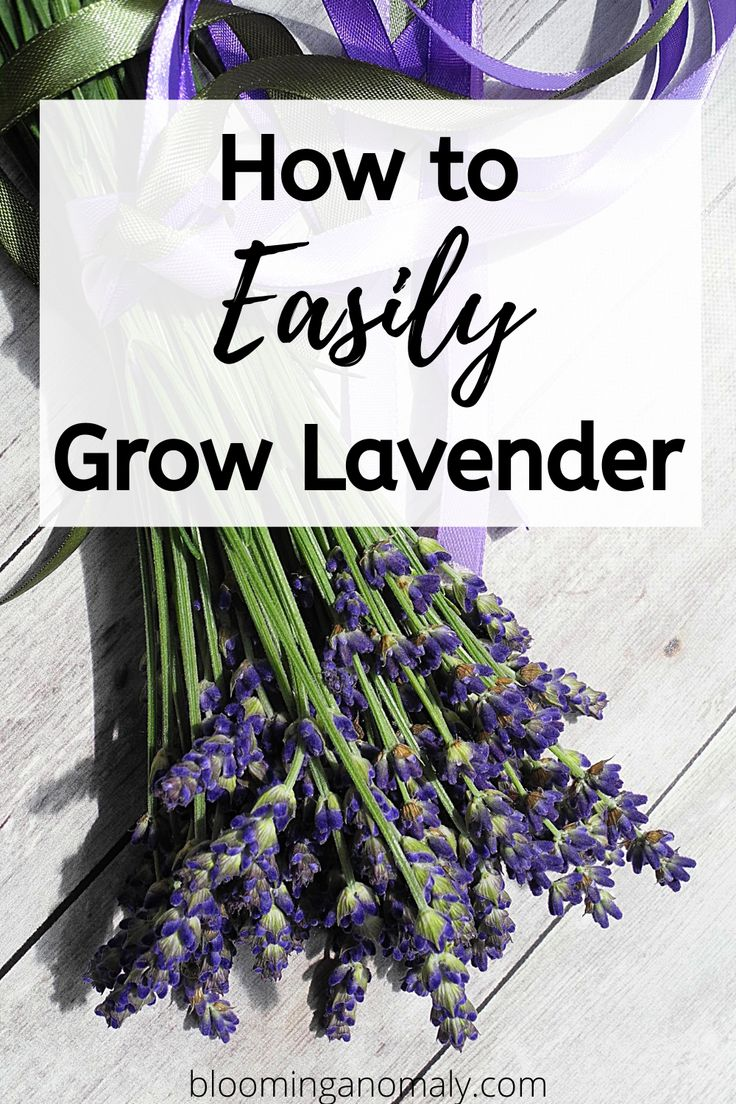 How to grow lavender and use it in 2020 growing