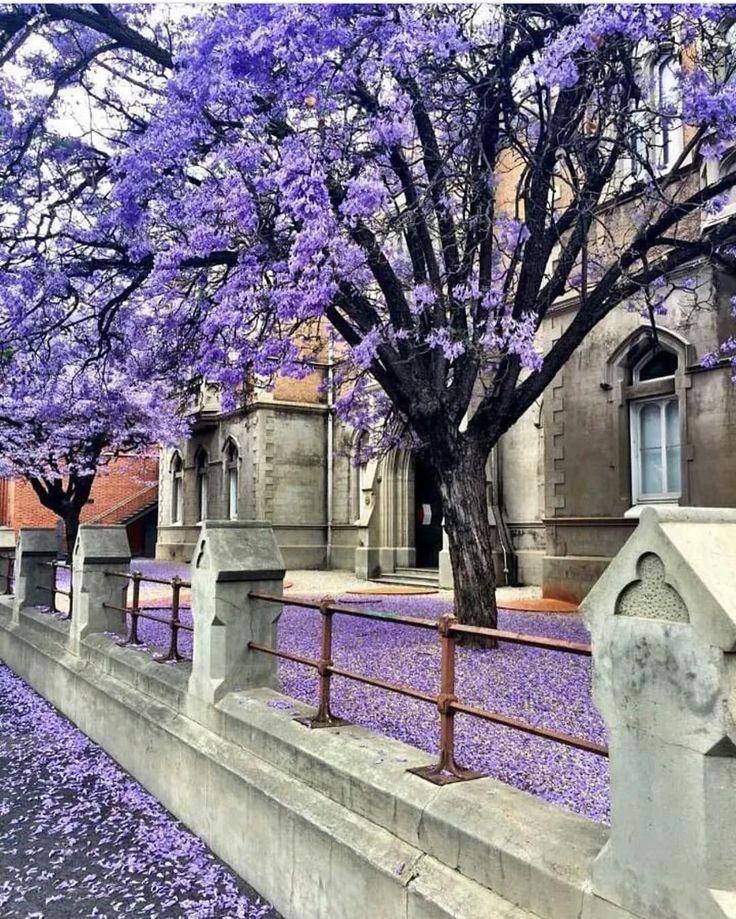 Beautiful Jacaranda blooms in Grote Street Adelaide South Australia
