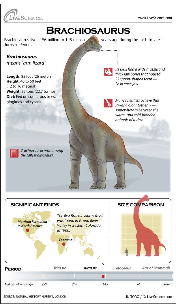 Brachiosaurus stood taller than most dinosaurs, on forelegs that were longer than its hind legs. Its long neck made it look like a giraffe.