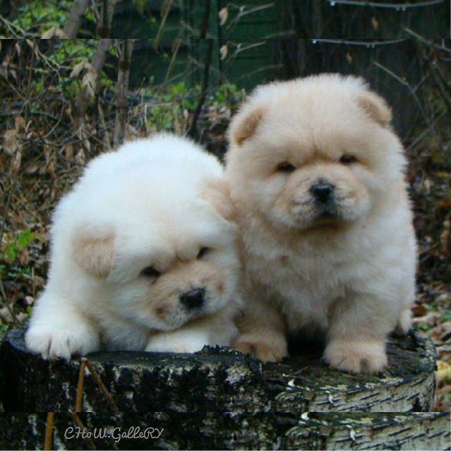 CHoW CHoW PuPPieS  #animals #animal #pets #pet #dogsofinstagram #dog #puppy #instapuppy #puppies #woof #fluffy #paws #cachorro #perro #собака #щенок #anjing #baby #hound #teddybear #love #amor #babyanimals #hund  #chowchow #chowchowpuppy #강아지 #ペット #犬 #개  _____________________________ MY SPESIAL CHOW FRIENDS :  @SDSTaSiuK @DIGSBY_N_CiNDeReLLa_THe_CHoWS  @KHePeLKHaN.CHoWCHoW  TaG YouR FRieNDs :
