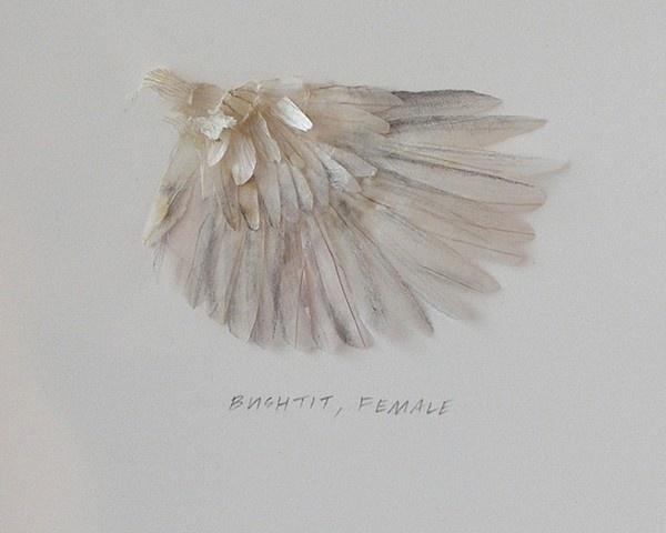 Wing Study - Bushtit (detail) | 2007 | Onion skin, graphite, adhesive | Tara Bursey.