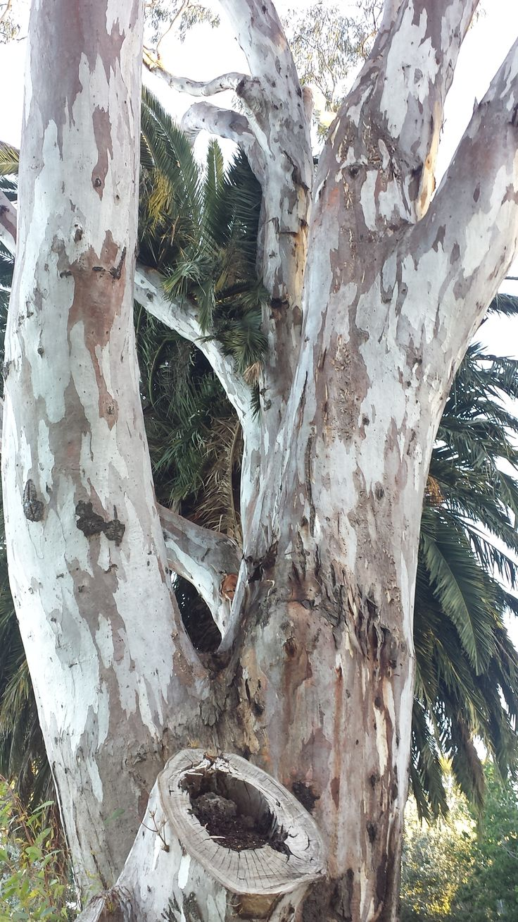 Red River Gum, Murray River, Victoria (actually at Cohuna)