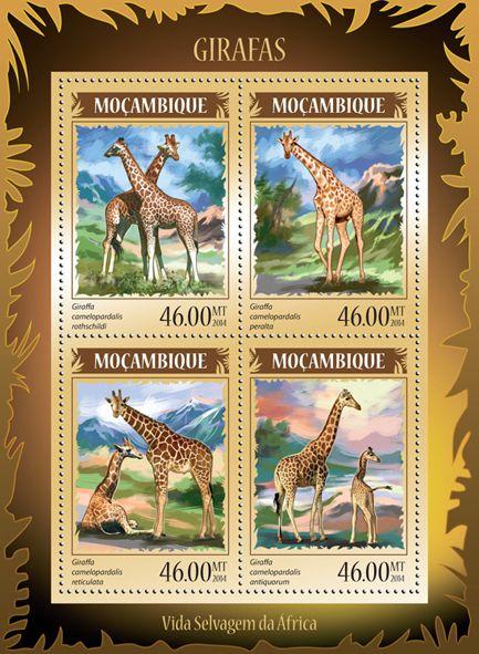 MOZ 14218 aGirafes (Giraffa camelopardalis rothschildi, Giraffa camelopardalis peralta, Giraffa camelopardalis reticulate, Giraffa camelopardalis antiquorum)