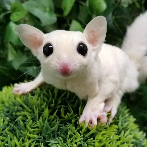 Image result for Leucistic sugar glider