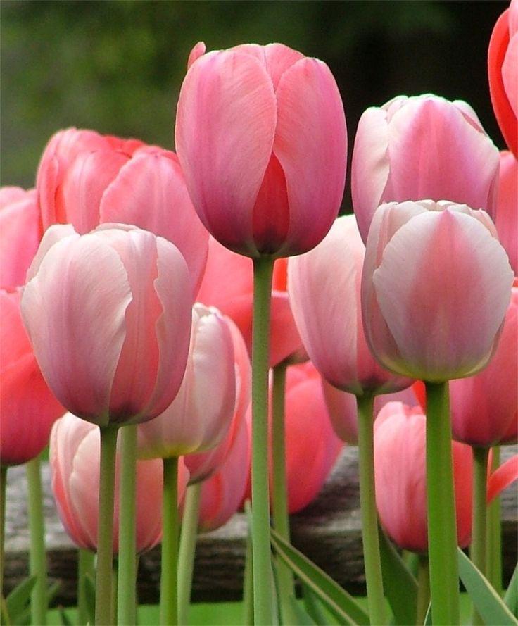 cute tulips pink flowers - photo #31