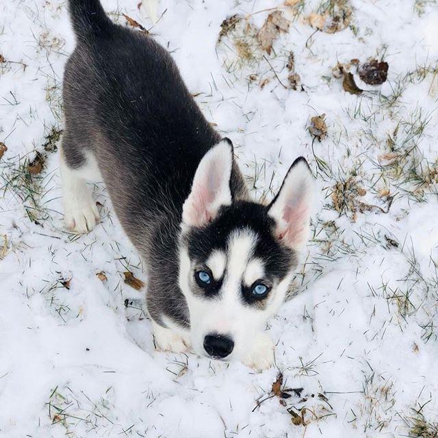 Pin By Craig Mcclain On Siberian Huskies Grand Dog Siberian