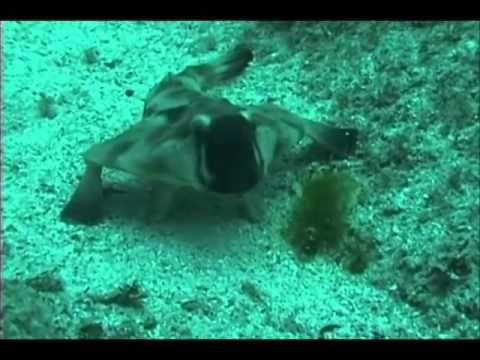 Red lipped batfish, a peculiar fish with lipstick?!?!?!  #peculiar #fish