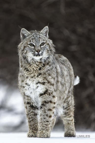 17 Best Images About Bobcats On Pinterest Montana