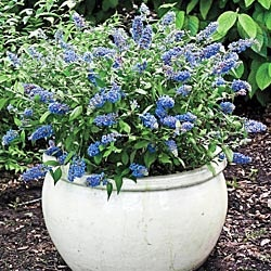 """Blue Chip Dwarf Butterfly Bush - The compact size of this new cultivar is perfect for smaller gardens and mixed borders. Its leaves, a deep shade of green, are set off by blue lilac-like flowers from early summer to mid fall. Attracts butterflies and hummingbirds with its light, sweet fragrance. Grows 2-3' tall with the same spread. Ships in a 5"""" pot."""
